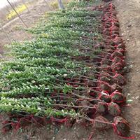 供应四季青围墙绿化苗北海道黄杨