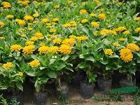 百日草 百日菊、步步高、火球花、对叶菊