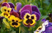 三色堇菜、蝴蝶花、鬼脸花