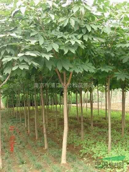七叶树苗木价格_七叶树苗木价格南京七叶树基地供应优质七叶