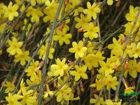 迎春、黄馨、伞房决明、红花继木