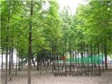 落羽杉,南京水杉价格,,池杉,10公分水杉,水杉树价格