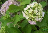 八仙花 H30-40 萧山苗木