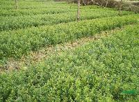 南方红豆杉、批发一年生南方红豆杉、红豆杉价格