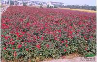 红帽子月季 H30-40 萧山苗木