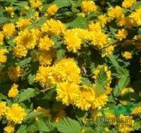 金焰绣线菊 H20-30  萧山苗木