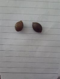 供应三尖杉种子