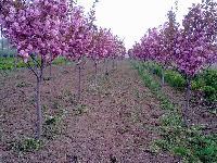 平顶松、日樱花、法桐、水杉、紫叶李、美人梅、栾树、紫薇、……