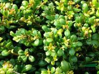 冠径15-300公分茶花价格,红花酢浆草价格,茶梅价格表