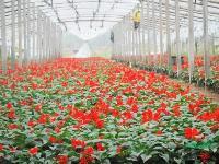 冠径15-300公分万寿菊价格,佛甲草价格,四季草花价格表