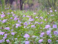 径长15-300紫藤价格,肾蕨价格,凌霄价格,常春藤价格表