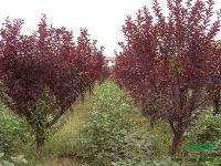 胸径2-50公分紫叶李价格,金山绣线菊价格,含笑球价格表