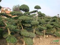 绿化苗木小叶女贞造型树,红花酢浆草,罗汉松造型,白蜡价格表