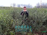 垂柳苗、紫荆苗,合欢苗、木槿苗、腊梅苗