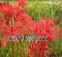 紅花石蒜郁金香朱頂紅百合香雪蘭劍蘭價格優惠包郵全中國