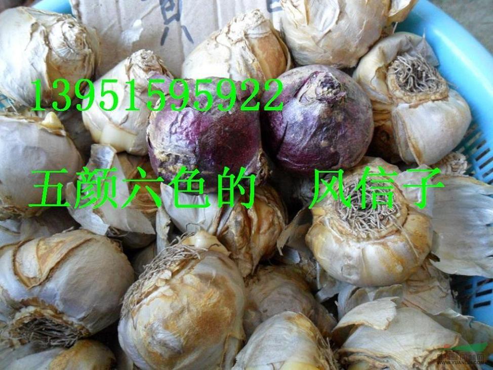 红花石蒜郁金香朱顶红百合香雪兰剑兰价格优惠包邮全中国