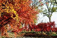 鸡爪槭,红枫