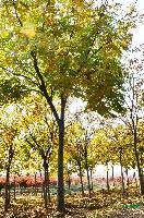 栾树,精品栾树,栾树价格,三叶栾树