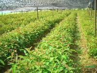 江西 紫珠苗及种子