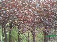 低价供应乌桕,三角枫,红榉,红叶李,桂花,广玉兰大叶女贞朴树