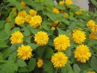 棣棠小苗,小叶黄杨小苗、金叶莸、红帽月季小苗、黄帽月季小苗