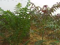处理红叶椿,杆直,数量8000棵
