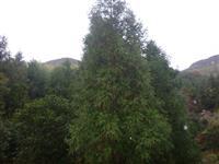 大量供应高度2米到8米日本柳杉