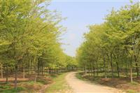 榉树,榉树基地,三叶园林,精品榉树