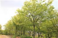 榉树,榉树基地,三叶园林