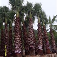 供应湖南棕��树,中东海枣,老人葵规格齐全欢迎选购