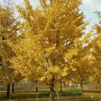 直銷銀杏樹苗,銀杏樹工程用苗,大規格銀杏園林綠化景觀銀杏樹