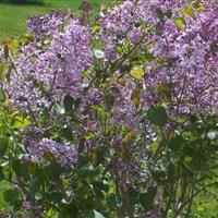 胸径2-50公分紫丁香价格,美国地锦价格,丝棉木价格表
