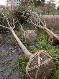 合歡6-15公分 櫸樹、樸樹、合歡、欒樹、香樟