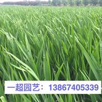 常綠水生鳶尾產地直銷