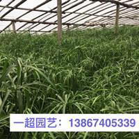 水竹 水竹价格