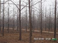 米径15公分的银杏树