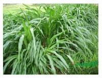 江苏省沭阳县低价批发 多年生黑麦草种子