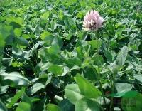 江苏省沭阳县低价批发 红三叶种子