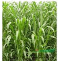 江苏省沭阳县低价批发 牧草种子 苏丹草种子