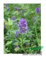 江苏省沭阳县低价批发 牧草种子 紫花苜蓿种子
