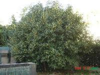 香樟 桂花 白玉蘭 紫薇 合歡 烏桕 榔榆 樸樹 欒樹