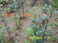 甜茶小苗价格香椿种子价格及紫薇紫藤常春藤繁殖方法说明
