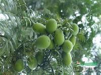 香榧种子、批发香榧种子、香榧种子价格