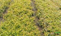 六道木 营养袋、地栽均有 萧山小苗