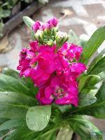 各种时令花卉 紫罗兰(别名:草桂花、四桃克、草紫罗兰)