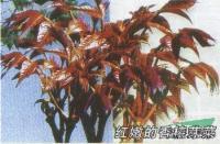 山东泰安快乐赛车开奖大规模优质香椿树苗