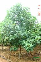 青冈栎、盐肤木、黄连木、朴树、桂花、马褂木、无患子、红豆杉