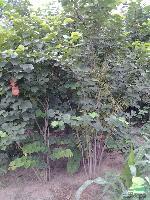 丛生巨紫荆