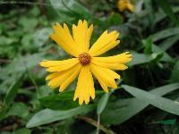 地被植物-大花金鸡菊,大花金鸡菊种子,别名剑叶波斯菊