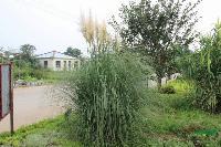 蒲苇,蒲苇苗,矮蒲苇,蒲苇基地,江苏地被植物